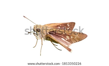 Moth picture with white background