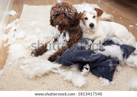 Dog mischief. Two dogs with innocent expression after destroy a pillow. separation anxiety and obedience training concept. Royalty-Free Stock Photo #1813417540
