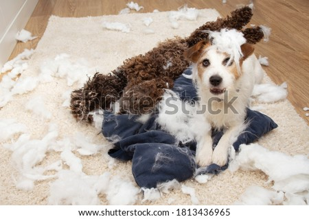 Dog mischief. Two dogs with guilty expression after destroy a pillow. separation anxiety and obedience training concept. Royalty-Free Stock Photo #1813436965