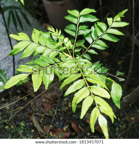 Curry leaves, scientific name, Murraya Koenegii, are used to add flavour to curries and make them delicious. Picture taken in Kathmandu, Nepal.