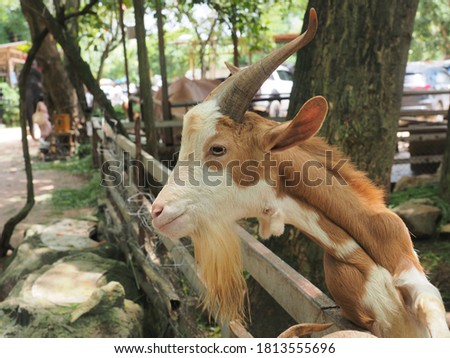 The picture of goat with long horns, Brown goat on head and neck, Goat in the field, Goat is a mammal.