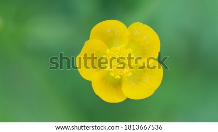 Common Buttercup yellow flowers on green grass background. Ranunculus acris meadow buttercup, tall buttercup, giant buttercup. Closeup, selective focus #1813667536