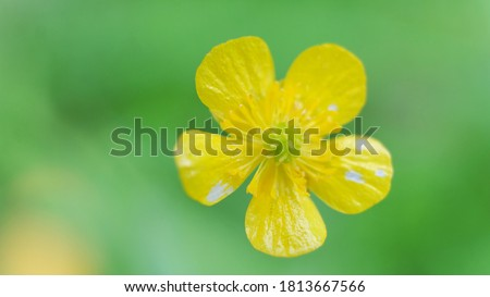 Common Buttercup yellow flowers on green grass background. Ranunculus acris meadow buttercup, tall buttercup, giant buttercup. Closeup, selective focus #1813667566