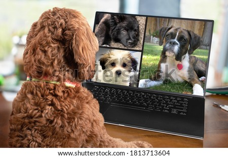 Back view of dog talking to dog friends in video conference. Group of dogs having an online meeting in video call using a laptop. Labradoodle and boxer dog chatting online. Pets using a computer.