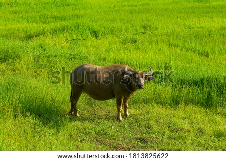 A water buffalo eating grass in the green field. Water buffalo or domestic water buffalo is a large bovid originating in the Indian subcontinent, Southeast Asia, and China