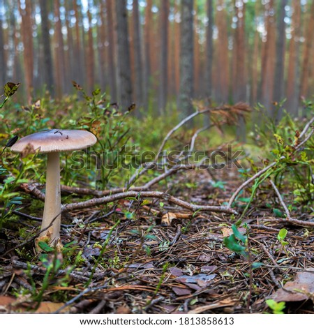 A mushroom growing in Latvia, Europe. The plant is growing on small forest road located in Sietiniezis. Picture taken in September 2020.