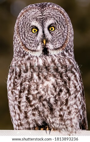 Beautiful picture of Great grey owl, with blurry background.