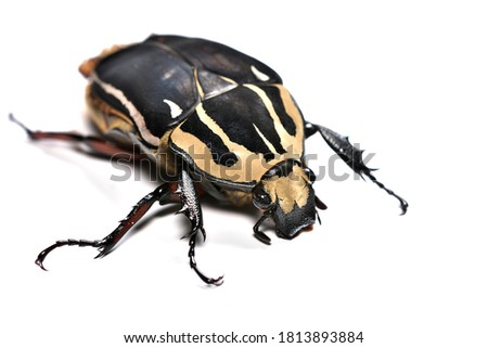 Closeup picture of adult female Giant African Flower Beetle or Goliath beetle Mecynorrhina torquatus ugandensis (MTU), photographed on white background