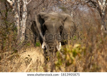 A mature Elephant bull strides through the thick combretum scrub on the way to a waterhole following ancient traditional game-trails he would have learnt from his mothers breed-herd Royalty-Free Stock Photo #1813905875