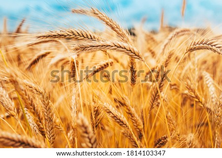 Bright ripe cereal field - yellow wheat against a blue sky - harvesting Royalty-Free Stock Photo #1814103347