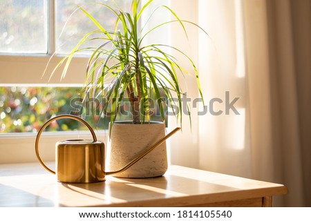 Dragon tree dracaena marginata next to a watering can in a beautifully designed home interior.