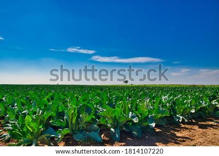 Cauliflower field, farmland. View of the cauliflower cultivation. Farming, caring for crops. A huge field of growing cauliflower, harvest, village. #1814107220