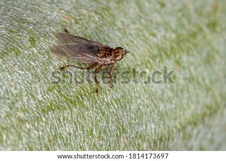 Louse Fly of the Family Hippoboscidae