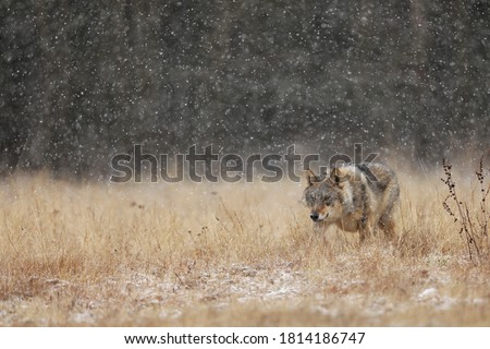 Wolf from Finland. Gray wolf, Canis lupus, in the early winter, on the meadow near forest. Wolf in the nature habitat. Wild. Animal looking for prey Royalty-Free Stock Photo #1814186747