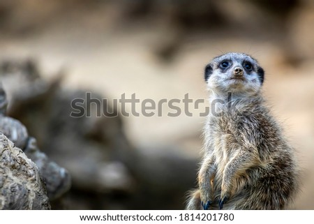 A meerkat guard observing the surroundings in order to protect the little meerkat village in a zoo at a sunny day in summer.