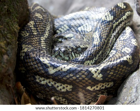 A close up picture of a python snake