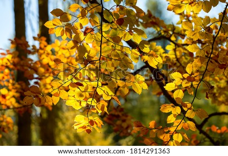 Autumn tree branches leaves view. Autumn leaves sunlight. Sunlight autumn leaves. Autumn leaves fall #1814291363