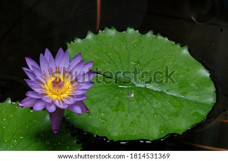 water lily violet with green leaves lily violet closeup photography lily picture