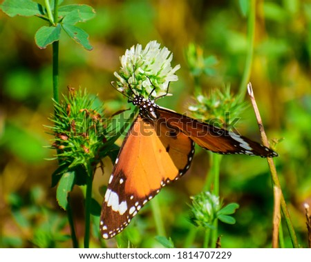 Picture of the beautiful butterfly plain tiger ( danaus chrysippus) butterfly.
