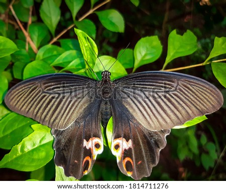 Picture of the beautiful butterfly of Himalayas .spangle (papilio protenor)
