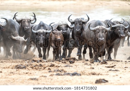 A herd of Cape Buffalo charging away from the water after being spooked by a predator. Royalty-Free Stock Photo #1814731802