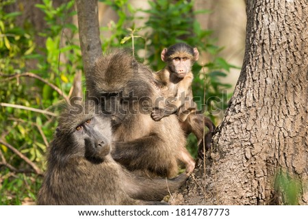 family portrait of three Chacma Baboons (Papio ursinus) in the wild, a baby and two adults, looking towards the camera and curious in Cape Town, South Africa