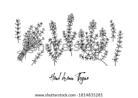Hand drawn thyme branches and bunch vector illustration isolated on white. Botanical herbal plant in vintage sketch style. Thymus vulgaris. #1814835281