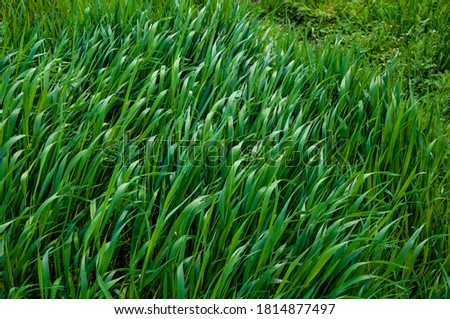 Tall bright lush green grass. Grass texture Royalty-Free Stock Photo #1814877497