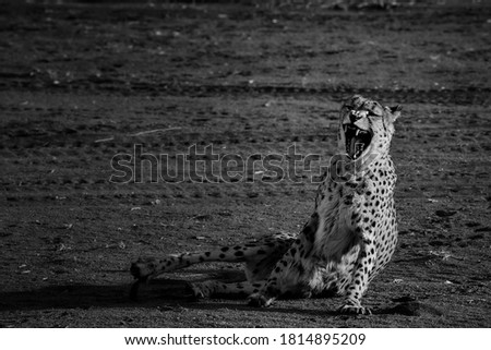 Angry cheetah in Africa, black and white picture