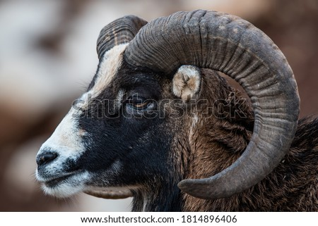 Ram Goat or Alpine Mouflon, in the wilderness photodocumented in wildlife photography project (Paws of Labanon)