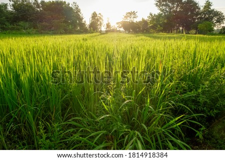 A front selective focus picture of foggy green natural rice field in the morning sunrise.