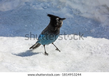 This is a picture of a Steller's Jay taken at Bijoux Falls Provincial Park near Mackenzie BC Canada. It is a pretty small Black a blue bird standing on bright white snow.