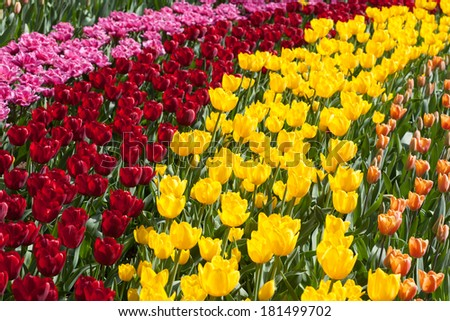 Row of multiple colored flowers in a bright sunny day in The Netherlands #181499702