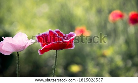 The flower is odorless.The sun's rays illuminate the poppy flower.Flower magic.The aroma of magic in floral design.Blooming poppy in the garden.