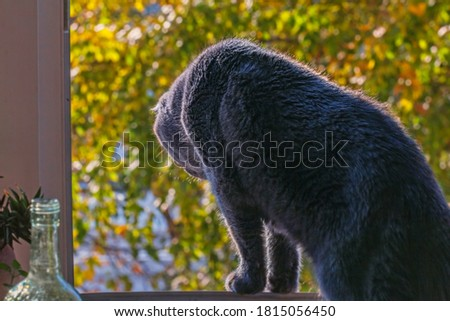 Pretty adult grey cat in window at sunny fall morning