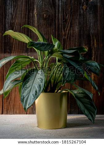 Chinese evergreen plant (aglaonema) in golden flower pot on dark rustic wooden background. Green tropical houseplant, home decoration Royalty-Free Stock Photo #1815267104