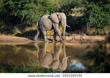 An Elephant bull walks past a waterhole in perfect light. Royalty-Free Stock Photo #1815269144