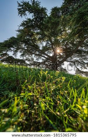 Cedar of Lebanon, La Morra, Langhe, Piedmont, Italy #1815365795