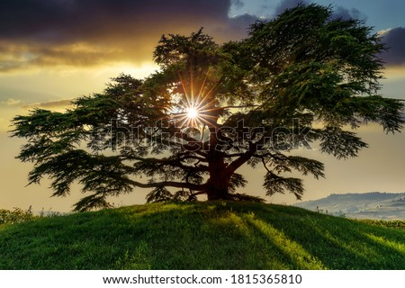 Cedar of Lebanon, La Morra, Langhe, Piedmont, Italy Royalty-Free Stock Photo #1815365810