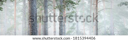 Picturesque panoramic view of the mysterious evergreen pine forest in a thick white morning fog. Tree trunks close-up. Abstract natural pattern, texture, background. Pure nature concept Royalty-Free Stock Photo #1815394406