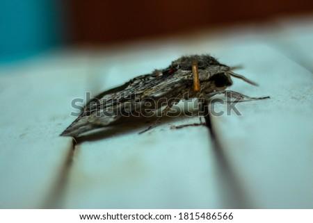 agrius convolvuli closeup picture dead bug