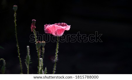 Pink poppy.Flowers in the moonlight.Blossoming poppies on a dark background.A meditative picture.Poppy lawn in the sun.Unusual color poppy.