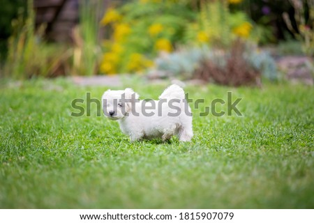 Cute white puppy, Maltese dog breed, running in a garden, happy and healthy