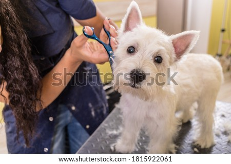 Woman groomer working in salon, making haircut at pet salon. Royalty-Free Stock Photo #1815922061