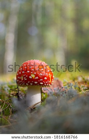 Mushrooms in the pine forest