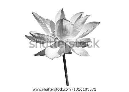 Black white Lotus flower isolated on white background. File with clipping path. Royalty-Free Stock Photo #1816183571