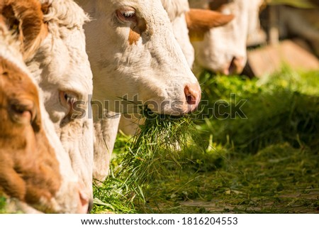 Cows are fed with fresh grass Royalty-Free Stock Photo #1816204553