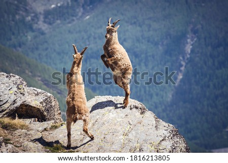Wild ibex fighting on the rock. Italian Alps. Gran Paradiso National Park, Italy #1816213805