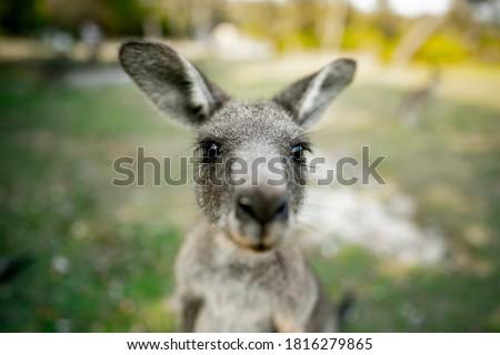 Close up of a Kangaroo looking directly at the camera