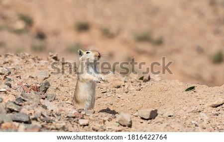 Gerbil in Charyn Valley National Park in Kazakhstan.